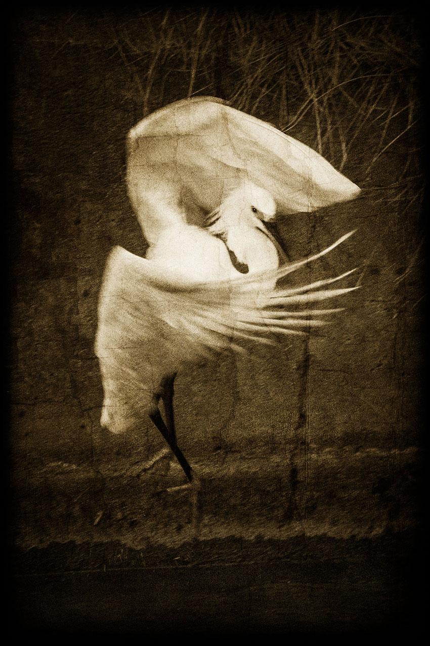 Sarah Mayhew – Egret dance, 2013.